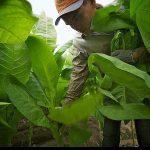 Репортаж из серии «Как это делается»: выращивание табака — 23 фото